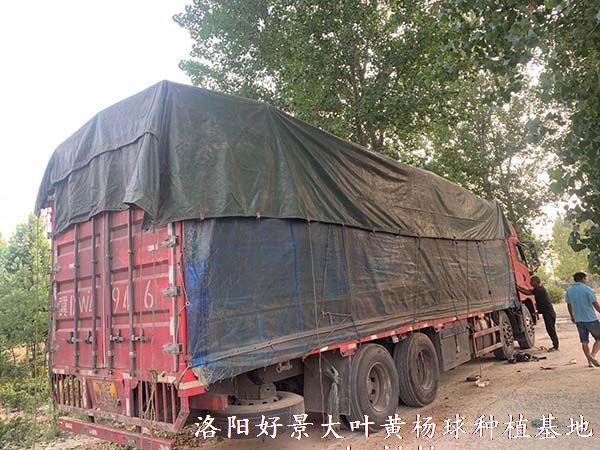 1.8米北海道黄杨装车