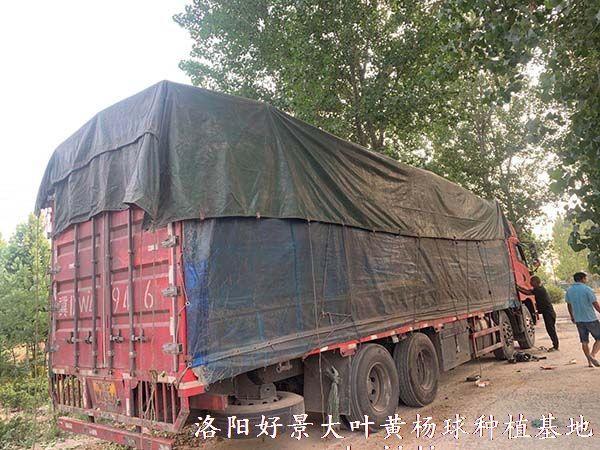 冠幅2米大叶黄杨球装车