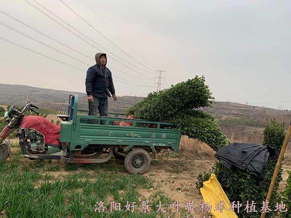 2米大叶黄杨柱起苗