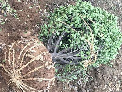 1.5米大叶黄杨球-未发芽前